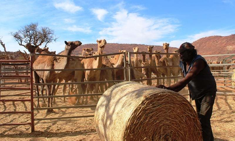 10,000 camels to be killed in drought-hit Australia for 'drinking too much water'
