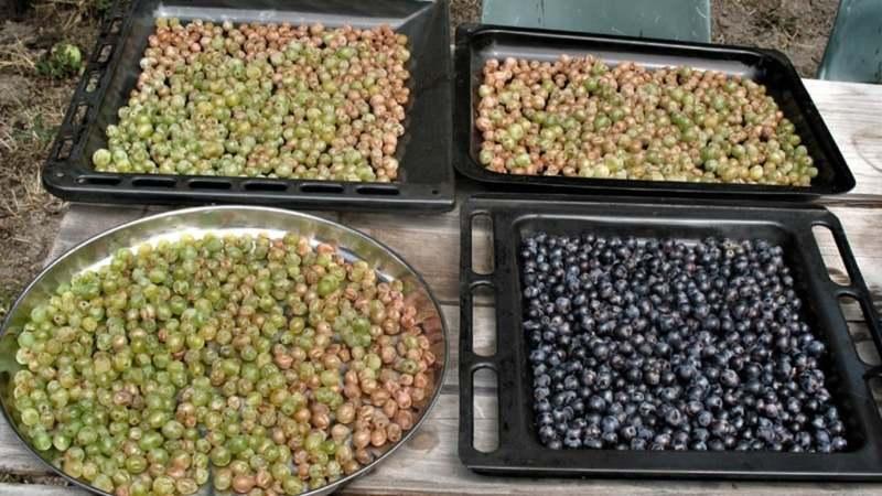 Making raisins and sultanas