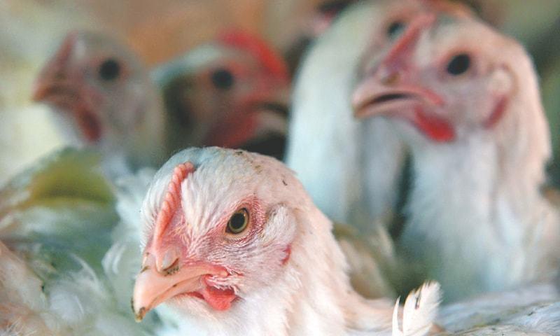 مرغی کی قیمت میں بھی اضافہ دیکھا گیا—فوٹو: ڈان اخبار