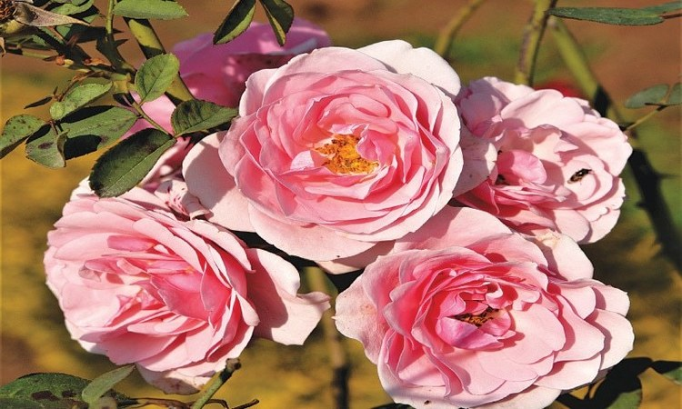 Floribunda — Blush pink | Photos by the writer