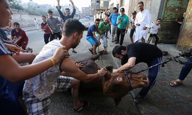 فلسطینی مسلمان جانور کی قربانی کرتے ہوئے—تصویر: رائٹرز