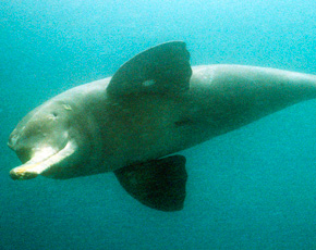The Indus River Dolphin. -Photo by Francios Xavier Pelletier