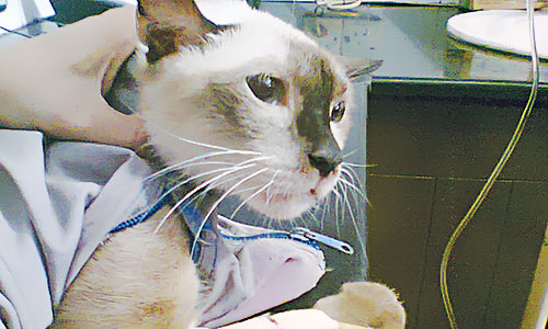 Cat canula- A Siamese cat undergoes intensive treatment. - Courtesy Photo
