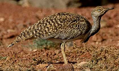 Emir of Kuwait to join in Houbara bustard hunting
