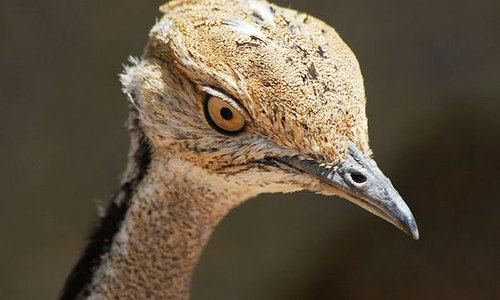 A eulogy for 2,100 bustards