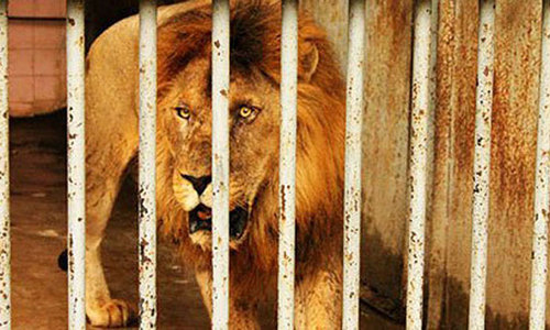 Lahore Zoo's oldest lion dies