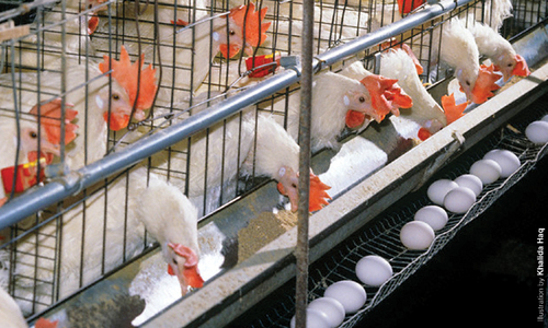 Poultry industry's take on budget