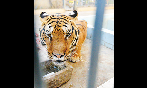 Microchip yet to be retrieved from dead tiger
