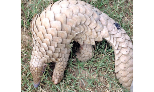 Pangolins: Smuggled into extinction