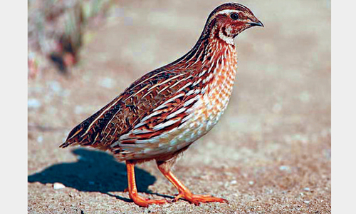 Quail hunting – disregard for life and law