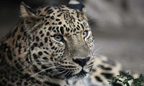 Lahore Zoo set to import two leopards