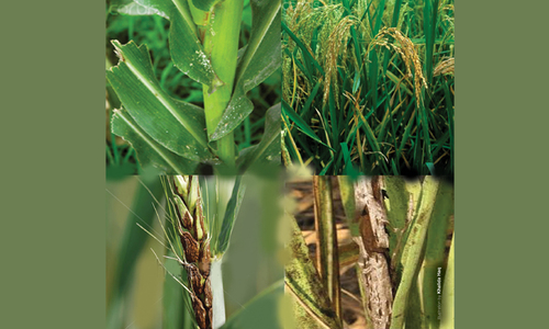 Tackling food crop diseases