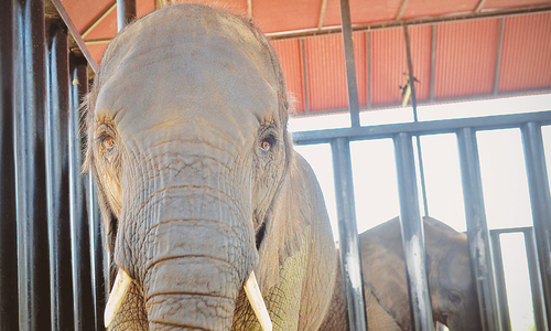 Inquiries confirm damage to KMC elephants tusks