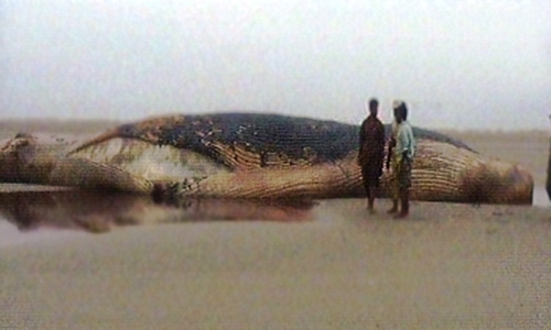 Fishermen drag dead whale to Karachi shore