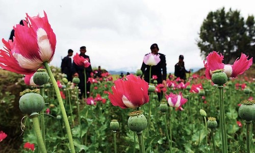 Poppy crop destroyed near Afghan border