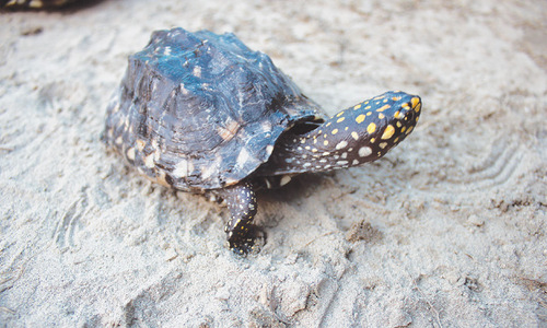 Illegal trade booms as Sindh govt yet to give protected status to freshwater turtles