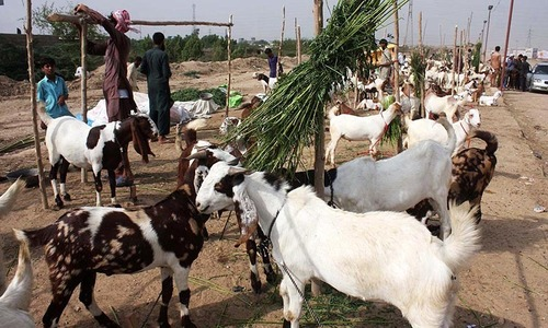 Sacrificial animal traders being fleeced despite 'no tax' order