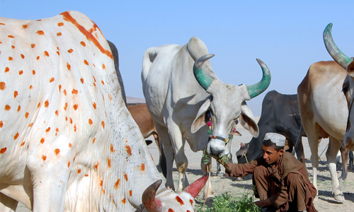 Livestock markets buzz ahead of Eid-ul-Azha