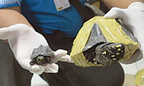 Alarming rise in global trade of rare turtles