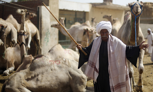 Back to the future: Camels 'trending' in Egypt as Eid approaches