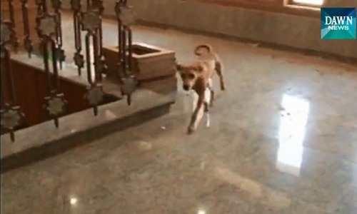 Stray dog takes tour of Sindh Assembly premises