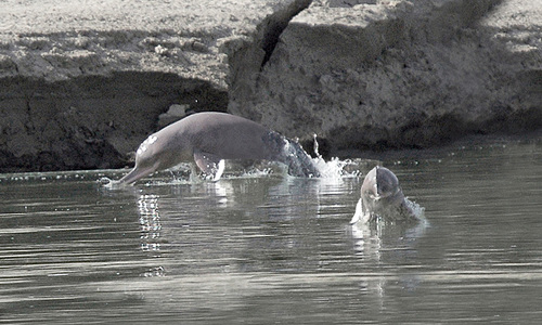 Indus dolphin rescued from Rice canal