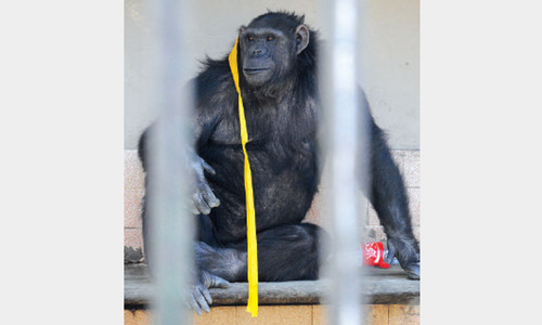 Ailing chimp dies at zoo