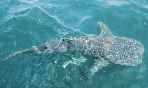 Three whale sharks rescued, released into sea