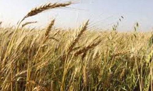 Probe ordered into import of substandard wheat