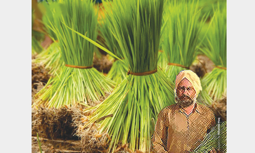 Growers' concerns over lower paddy prices