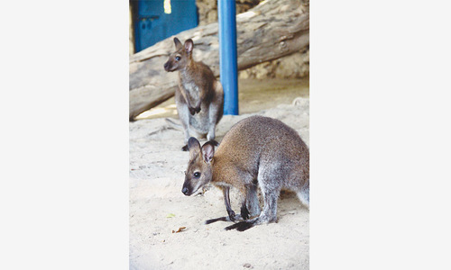 Wallaby found dead in zoo