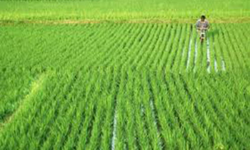 Subsidy for rice growers urged