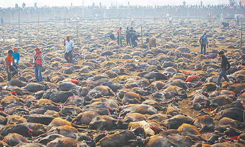 Nepal's religious mass animal slaughter under way