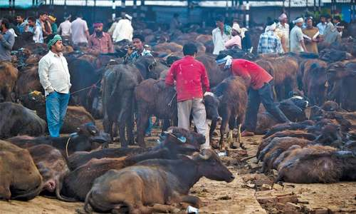 India's diehard Hindus push to ban beef in blow to poor