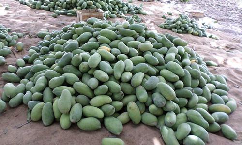 Fears of a lower mango crop in Sindh
