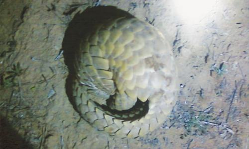 Illegal hunting poses serious threat to pangolins