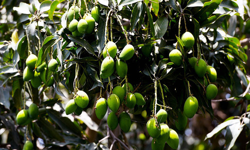 Mango exports to EU likely from this week