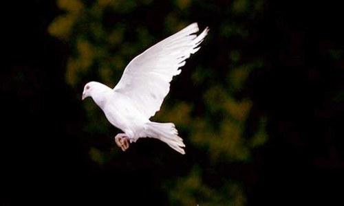 پاکستانی 'جاسوس' کبوتر ہندوستان میں گرفتار