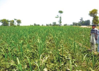 'Successful' inter-cropping of mung-bean, sugarcane in Toba