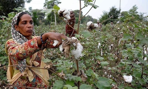Genetically modified cotton seed 'blights' Pakistan's cash crop