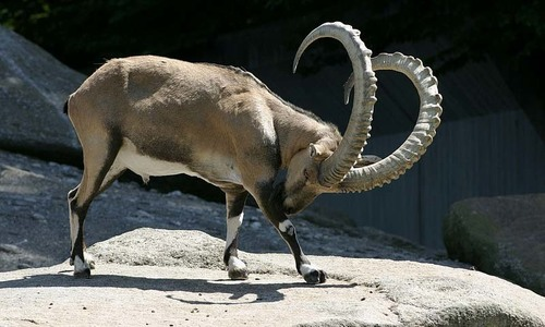 Stuffed markhor, ibex seized in Naran