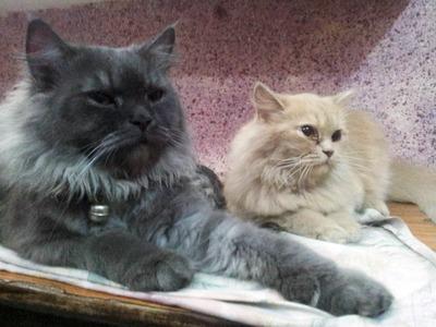 . لکھاری کی پالی ہوئی دو خوبصورت بلیاں