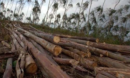 محکمہ جنگلات کی ذمہ داری درخت بچانا یا کاٹنا؟