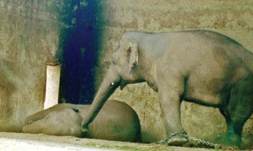Capital may lose Kaavan the elephant