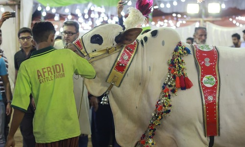 Cricket and cattle — An unlikely partnership at the mandi