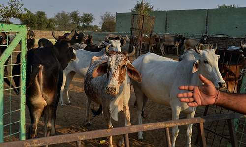 India's Cow Protection Squad: Mobs rule as religious debate rages