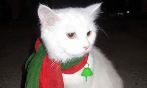 Police under pressure to recover kidnapped 'PTI cat'