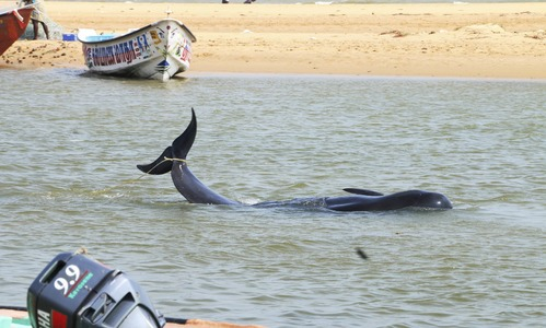45 whales die after washing ashore on India's southern coast