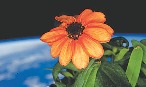 First flower blooms on International Space Station