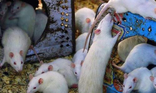No mechanism to control rat population in Peshawar